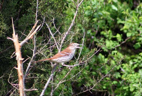 brown thrasher royer