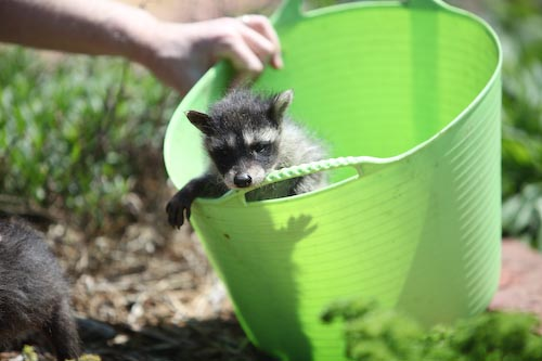 Raccoon in Bucket